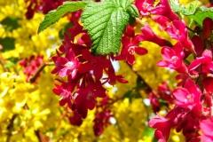 Dorothy-IMG_2725-Garden-City-Blooms1