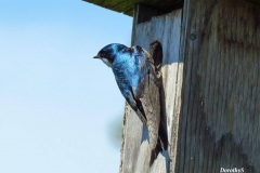 Dorothy-Singleton-IMG_3581-Tree-Swallow1