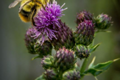 michael-chin-Bee-on-thistle