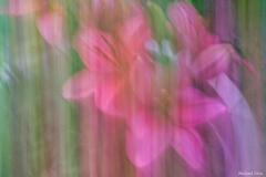 michael-chin-Lilies