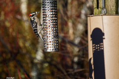 Dorothy-DSC00964-Woodpecker1
