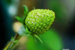 Dorothy-DSC05159-Macro-Strawberry1