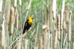 Dorothy-IMG_3645-Yellow-headed-Blackbird1
