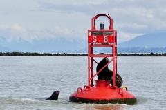 Angela-Burnett-Sealions-buoy-492