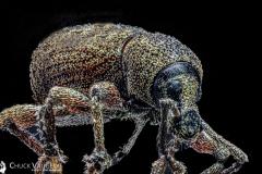 Chuck-Vaugeois-Black-Vine-Weevil-20200706