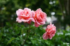 Dorothy-DSC05495-My-Roses1