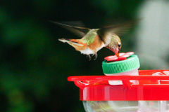 Dorothy-DSC06627-Visit-from-Rufous1