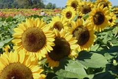 Angela-Burnett-Sunflowers-0701