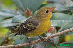 Brian-G-Phillips-Western-Tanager-F-1080