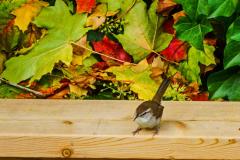 Dorothy-dorothy_2_Autumn-Bewicks-Wren2-DSC09293