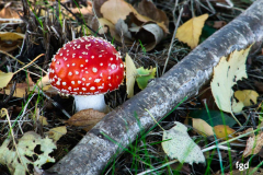 Francis-Fall-mushroom