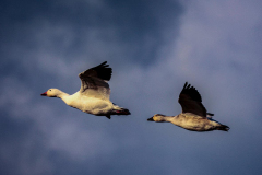 Hendy-A-pair-of-geese