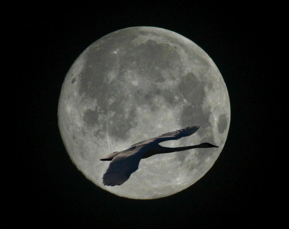Gerd-Penno-Trmpeter-Swan-Moon-Composite_resize
