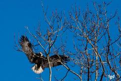 Francis-Eagles-2-