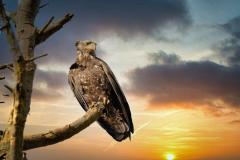Victor-Jacinto-dawn-eagle