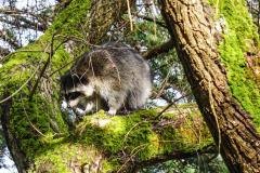 Dorothy-dorothy_1_ShNTell-DSC03820-Raccoon2