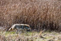 Francis-Coyote-on-West-Dike-3