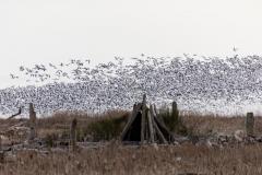 Paul-Rennie-Snow-Geese-at-west-dyke1