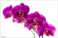 Michael-Chin-Orchids-5