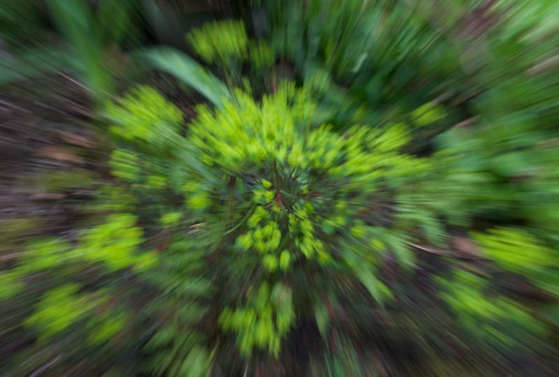Brenda-Luciuk-Euphorbia