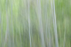 Brenda-Luciuk-Birch-Trees