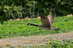 Dorothty-dorothy_1_London-Farm-DSC00018-Canada-Goose-Chase1