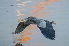 Dorothy-dorothy_1_ShNTell-DSC09110-Heron-gliding-above-the-water1