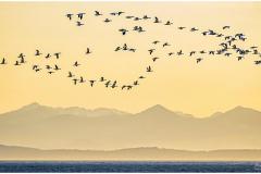 Michael-Chin-03-Flight-of-snow-geese
