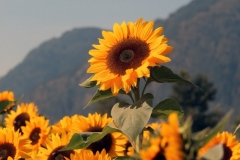 Ed W - 3_Sunflower_2323-W1