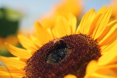 Ed W - 4_Sunflower_2393-W1