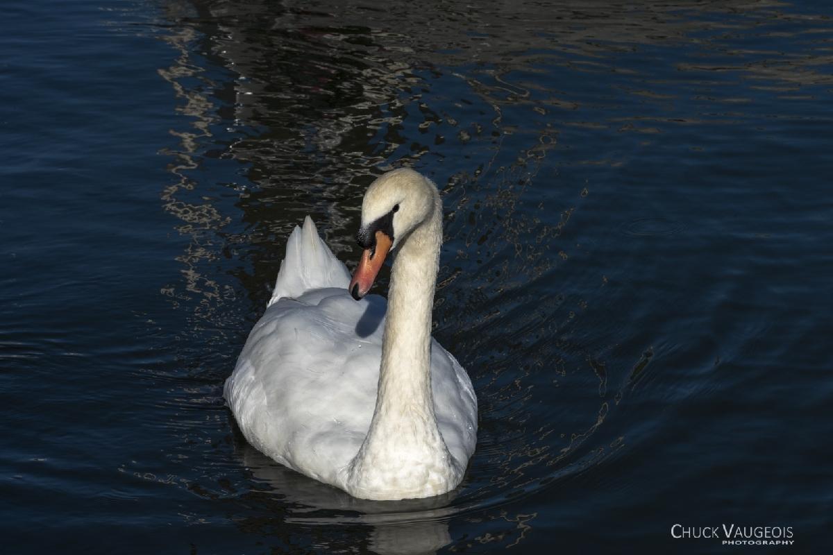 Chuck-Vaugeois-0004-Birds