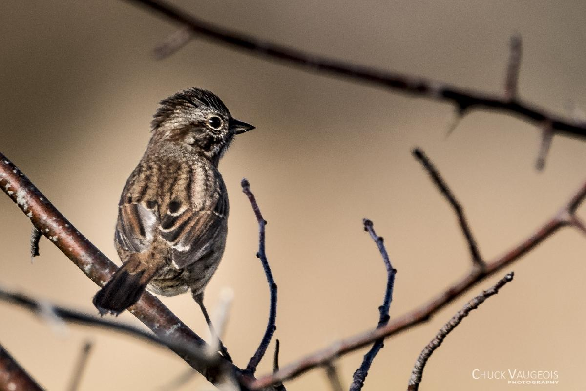 Chuck-Vaugeois-0007-Birds