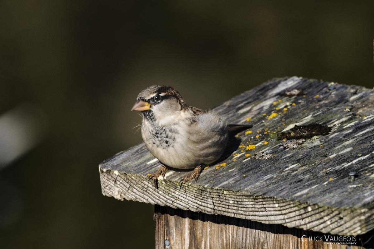 Chuck-Vaugeois-0010-Birds