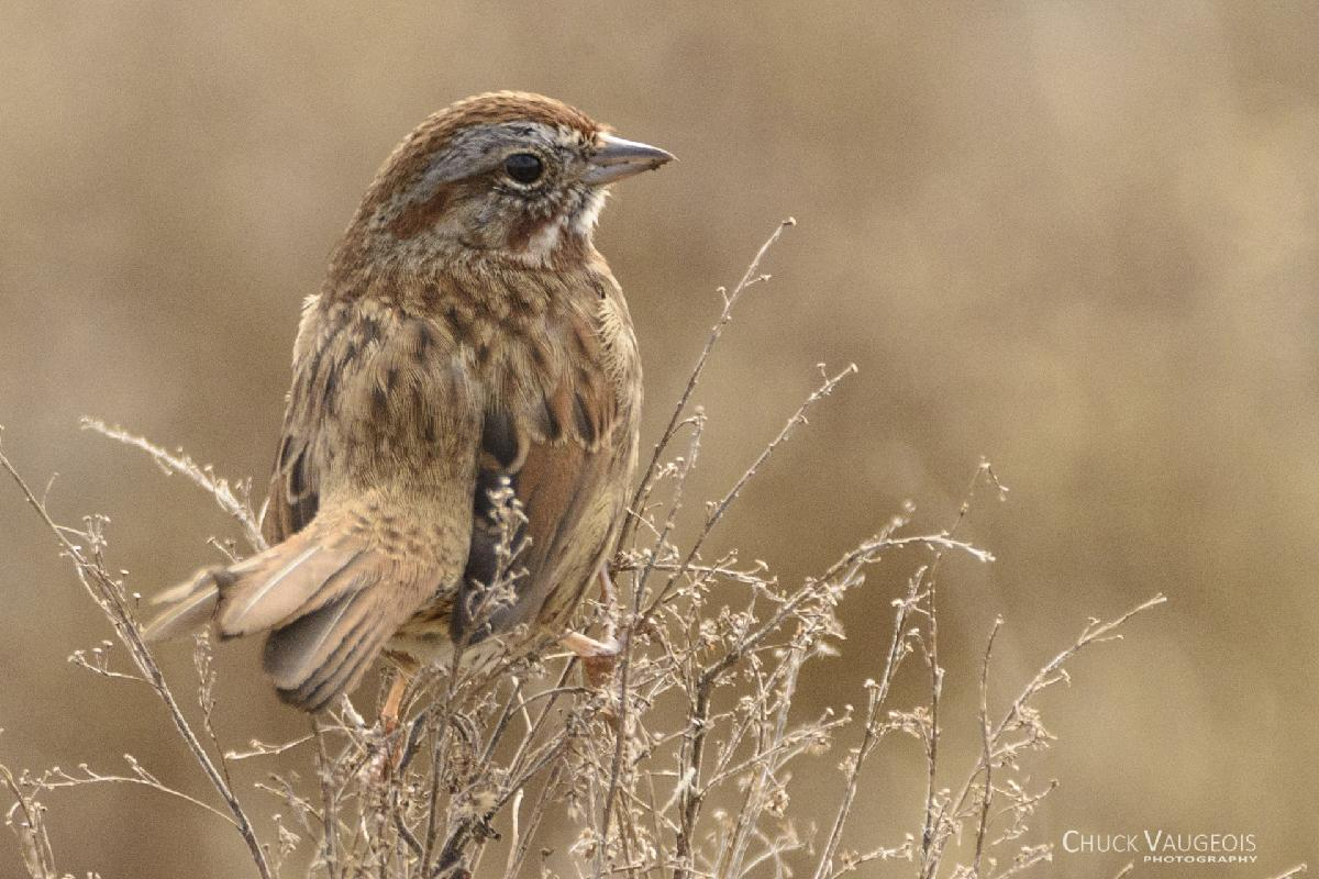 Chuck-Vaugeois-0011-Birds