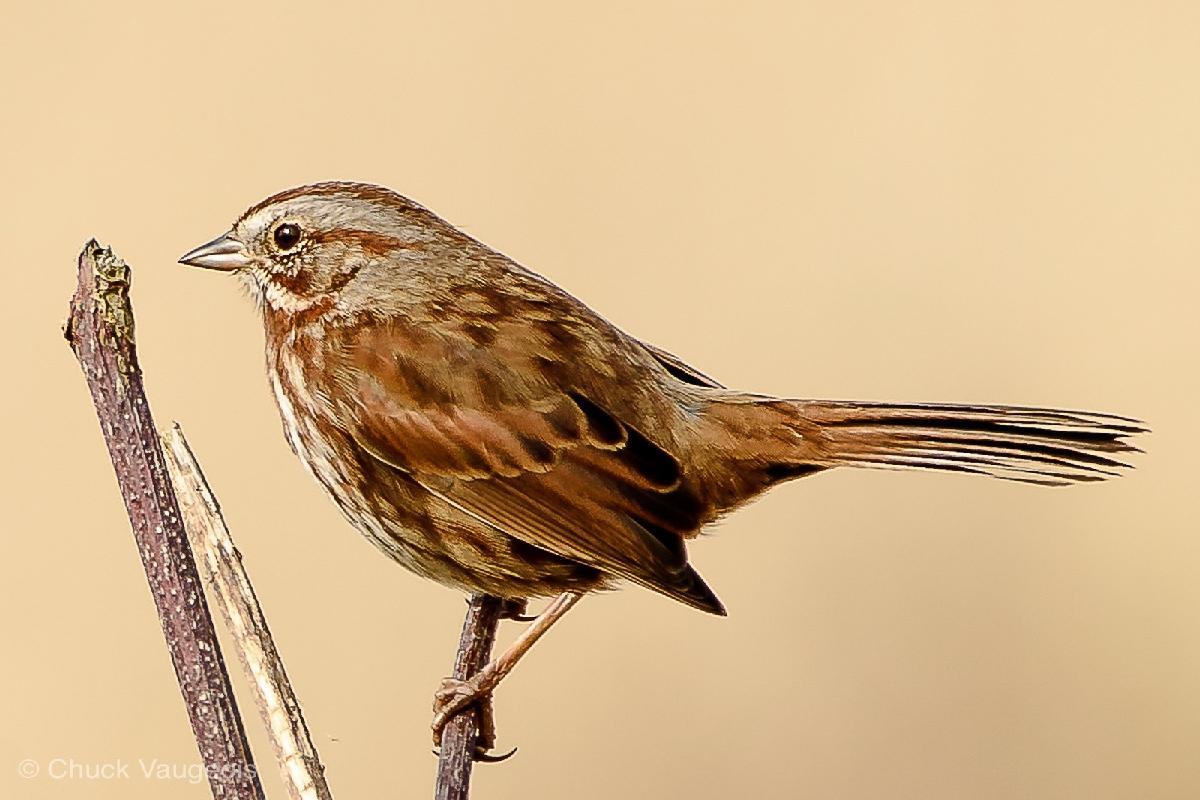 Chuck-Vaugeois-0020-Birds