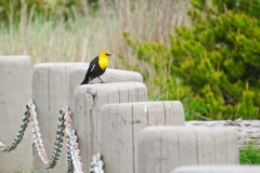 Dorothy-DSC02325-Yellow-headed-Blackbird2