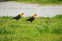 Dorothy-DSC02480-Yellow-headed-Blackbirds2