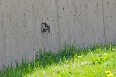 Dorothy-DSC02548-Yellow-rumped-Warbler-climbing-wall1