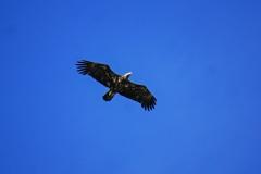 Dorothy-aDSC02103-Juvenile-Bald-Eagle3