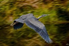 Michael-Chin-13_Blue-Heron