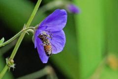 Dorothy-dorothy_2_MinoruPk-DSC07374-Bee-Poppy2