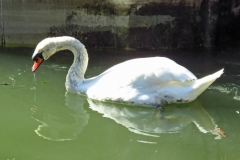 Dorothy-IMG_7731-Swan-at-Steveston1