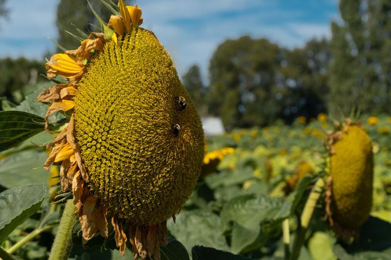 Francis-Sunflowers-02