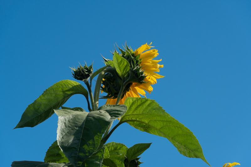 Francis-Sunflowers-03