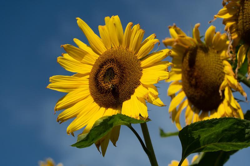 Francis-Sunflowers-04