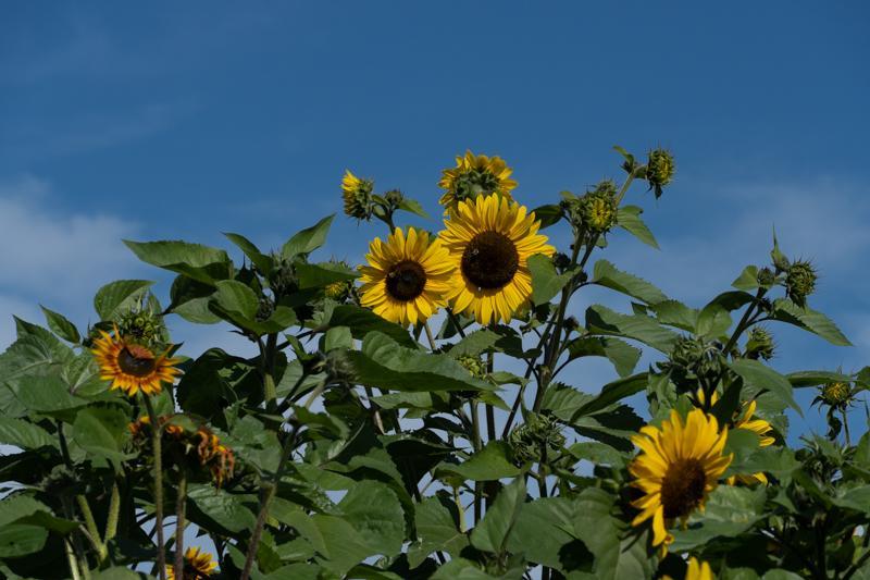 Francis-Sunflowers-07