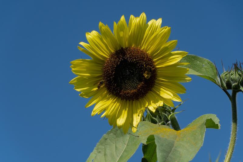 Francis-Sunflowers-08