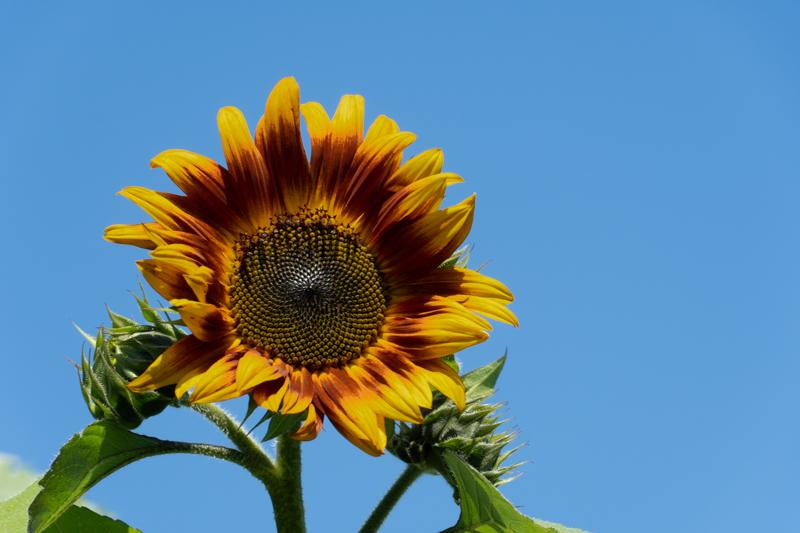 Francis-Sunflowers-09