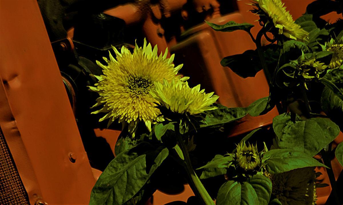 gerry-boretta-sunflower-shoot-5