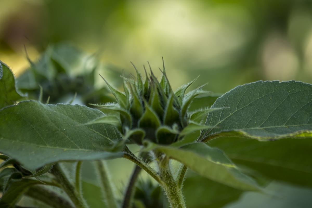 gerry-boretta-sunflower-shoot-8